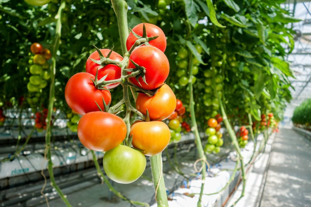 tomato 1310961 1920